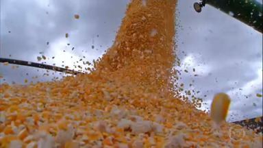 Colheita de milho em Mato Grosso será menor nesta safra - Estado deve colher 32 milhões de toneladas, queda de quase 11% em relação à temporada passada. Cereal foi semeado com atraso e seca atrapalhou cultivo.