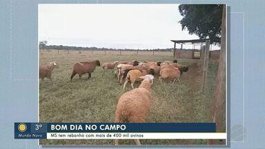 Bom Dia no Campo: MS tem rebanho com mais de 400 mil ovinos - Bom Dia no Campo: MS tem rebanho com mais de 400 mil ovinos.