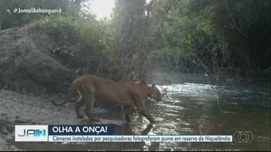 Câmeras instaladas por pesquisadores fotografaram puma em reserva de Niquelândia - Animal também é conhecido como onça parda.