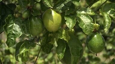 Chuva beneficia produções de frutas e algumas seguem para segunda safra - Apesar do fator positivo, produtores devem ficar atentos para a quantidade de água nas plantações.