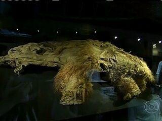 Empresa anuncia US$ 15 milhões para trazer à vida um mamute extinto há 10  mil anos   Natureza   G1