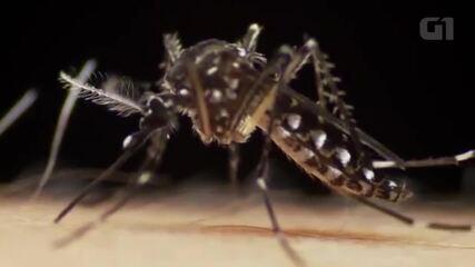 Mosquito Aedes aegypti em ação