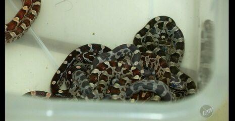 Homem é preso em Americana por criar cobras sem autorização do Ibama