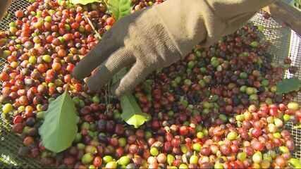Essencial na economia do Sul de Minas, café é preterido em alguns municípios da região