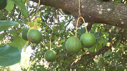 Toneladas de abacate são furtadas de propriedades rurais em Arapongas