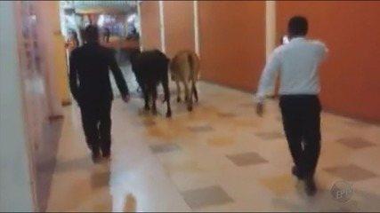 Vacas 'passeiam' nos corredores de shopping em Minas Gerais