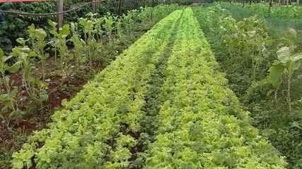 Excesso de chuva afeta a produção de hortaliças na região de Ribeirão Preto