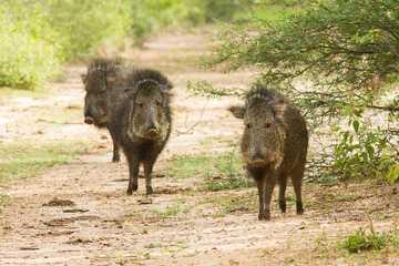 Parecido com catetos, os taguás são exclusivos da região do Chaco