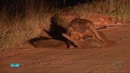 Vídeo mostra casal de tamanduá-bandeira durante acasalamento