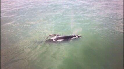 Baleias franca foram avistadas na costa de SP (Vídeo: Virgílio Costa/Arquivo Pessoal)