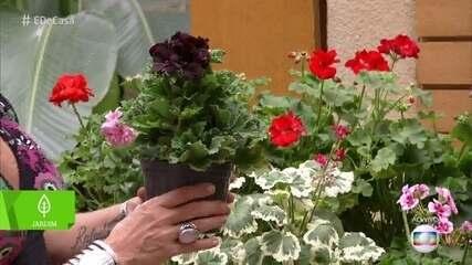 Aprenda a plantar e cultivar gerânios em casa