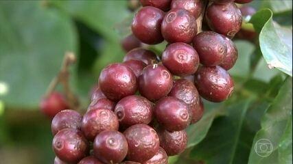 Fazenda de café corta custos e remunera mais usando técnicas de administração