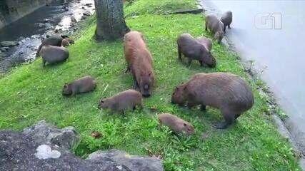 Grupo de capivaras se alimenta na beira do rio no bairro Bingen
