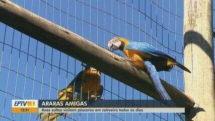 Aves soltas visitam pássaros em cativeiro em Araras, SP