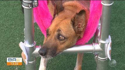 Após ser atropelada, cadela ganha lar e cadeira de rodas para reabilitação em Feira