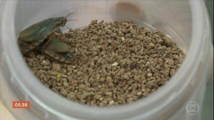 Pesquisa no RS comprova alto teor de proteína nos insetos