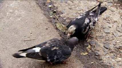 Por que os pombos podem ser um risco grave para a saúde?