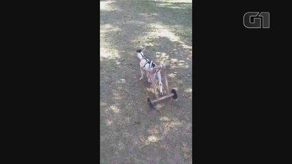Cabrita sem movimento das patas traseiras ganha cadeira de rodas adaptada
