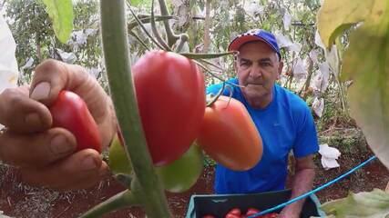 Técnica simples aumenta a qualidade do tomate e reduz custos de produção
