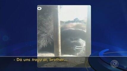 MP abre inquérito para investigar vídeo de chimpanzé fumando cigarro em Sorocaba