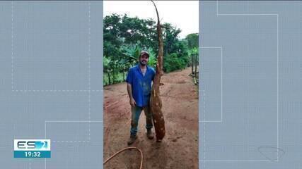 Lavrador encontra mandioca com mais de dois metros de comprimento em Rio Bananal, ES