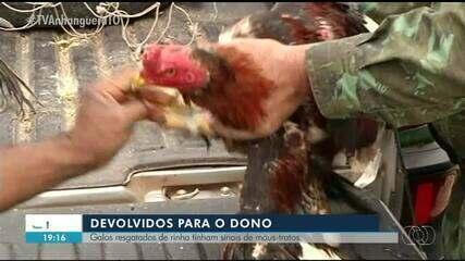 Galos resgatados de rinha em Gurupi são devolvidos para o dono; entenda