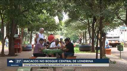 IAP e Ibama devem capturar macacos que vivem soltos em bosque de Londrina