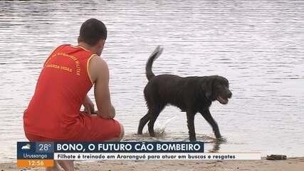 Filhote de cachorro é treinado para atuar com o Corpo de Bombeiros em SC