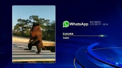 Macaco com lata presa na pata é resgatado na região noroeste paulista
