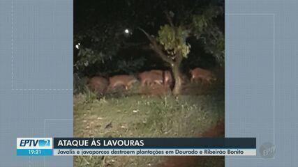 Javalis e javaporcos destroem plantações em Dourado e Ribeirão Bonito