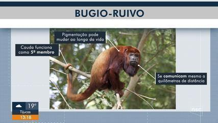 Macaco com risco de extinção consegue se reproduzir em cativeiro em SC
