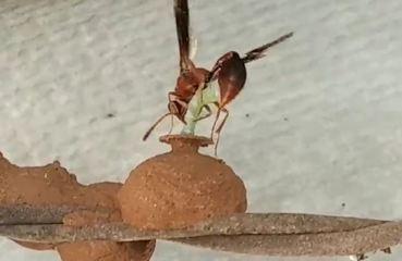 Veja vídeo de vespa-oleira inserindo insetos no ninho de barro para alimentar o filhote
