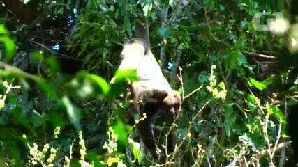 Avanço do desmatamento em RO pode fazer macaco ameaçado de extinção desaparecer