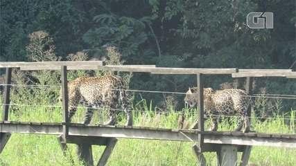 Onça é flagrada passeando com o filhote em passarela de madeira, em Miranda (MS)