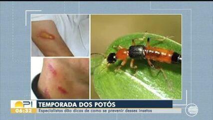 Aberta a temporada dos potós: veja dicas sobre como se prevenir contra o inseto
