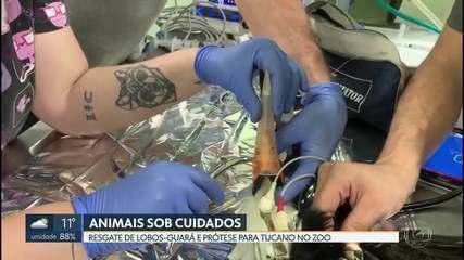 Tucano Pirata ganha prótese de bico e cinco filhotes de lobo-guará, órfãos, são acolhidos no Zoológico de Brasília