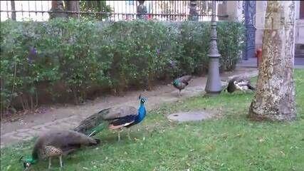 Pavões que fugiram dos jardins do Museu da República, no Rio, voltam para o habitat