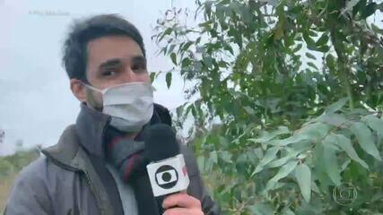 Repórter do Fantástico mostra árvore repleta de gafanhotos pousados na Argentina