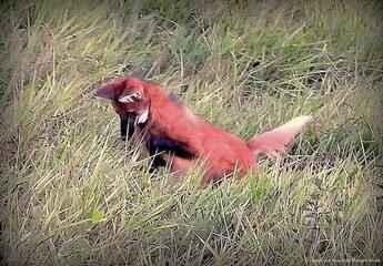 Dança da predação: Lobo-guará é flagrado saltando durante caça em Aruanã (GO)