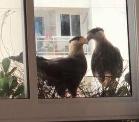 Moradores registram pela janela a rotina dos carcarás