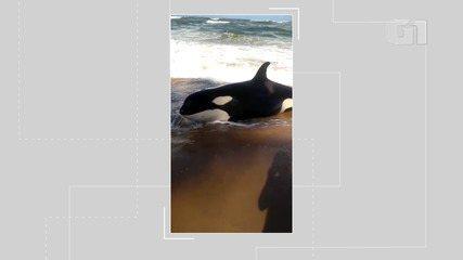 Orca encalha na praia de Guarajuba, no litoral norte