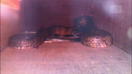 Cobra jararacuçu é resgatada de motor de caminhonete, em Barreiras