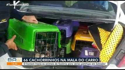 Mais de 60 filhotes de cachorro são achados aglomerados em porta-mala de carro na Bahia