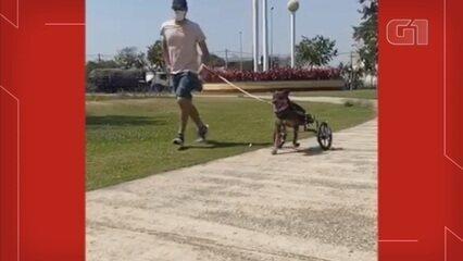 Cão que teve patas amputadas ganha 'cadeira de rodas' de projeto em Sorocaba