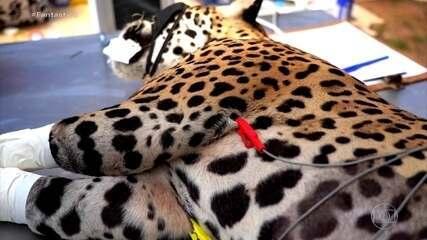 Pantanal em chamas: tratamento pioneiro regenera tecidos de animais queimados