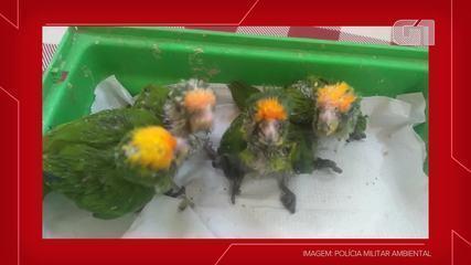 Filhotes de periquito da espécie jandaia-verdadeira foram encontrados no acostamento da SP-563