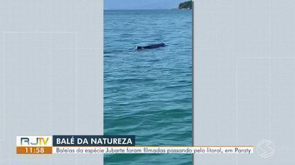 Baleias jubarte são vistas por pescadores no mar de Paraty