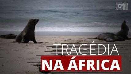 Mais de 7 mil focas são encontradas mortas na costa da Namíbia