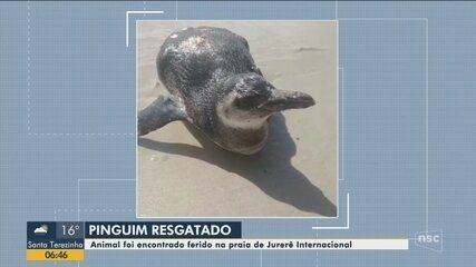 Pinguim é resgatado ferido na praia de Jurerê Internacional em Florianópolis