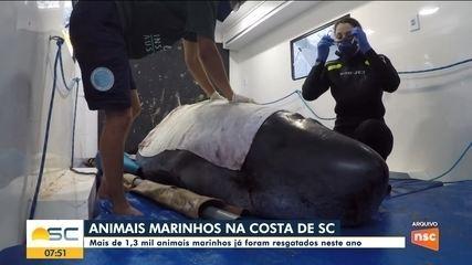 Especialistas analisam aumento de animais marinhos na costa de SC
